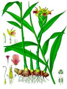 jengibre-planta